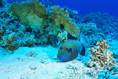 blå triggerfish Royaltyfri Bild