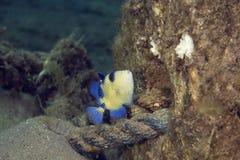 blå triggerfish Arkivbild