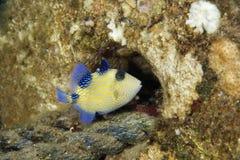 blå triggerfish Royaltyfria Foton