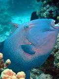 blå triggerfish Arkivbilder