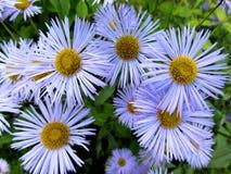 Blå tusensköna Royaltyfria Foton