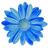 Blå tusensköna för trädgårds- blomma som isoleras på vit bakgrund Närbild Makro element för klockajuldesign royaltyfri fotografi