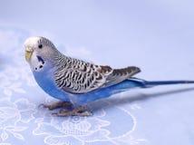 blå undulat Arkivfoto