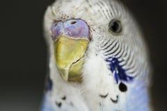 blå undulat Arkivbild