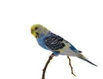 Blå undulatfågel Royaltyfria Bilder