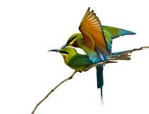 Blå undulatfågel Royaltyfri Foto