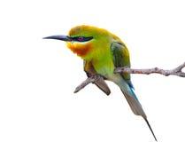 Blå undulatfågel Arkivbild