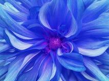 Blå utmärkt krysantemumblomma closeup Makro royaltyfri fotografi