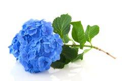 blå vanlig hortensia Arkivfoton