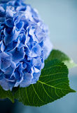 blå vanlig hortensia Royaltyfria Foton