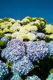 blå vanlig hortensia Royaltyfri Fotografi