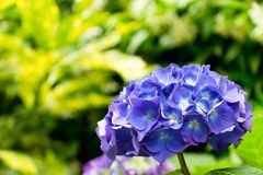 Blå vanlig hortensia Royaltyfri Bild