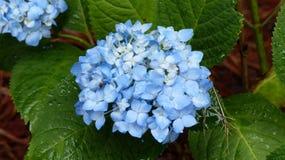 Blå vanlig hortensia efter regnet Arkivfoton