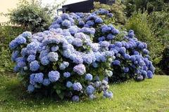 Blå vanlig hortensia i Brittany Royaltyfri Foto