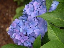 Blå vanlig hortensia med sidor Royaltyfria Bilder