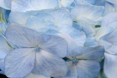 Blå vanlig hortensiabakgrund Royaltyfria Foton