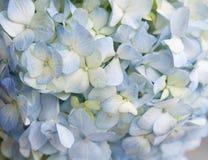Blå vanlig hortensiabakgrund Arkivfoto