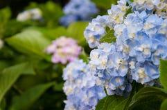 Blå vanlig hortensiablomma framme av den blåa och rosa vanlig hortensiablomman royaltyfria foton