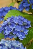 Blå vanlig hortensiablomning för briljant royaltyfri foto