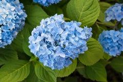 Blå vanlig hortensiablomning med gräsplansidor i trädgården arkivbild