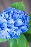 Blå vanlig hortensiamacrophyllablomma Royaltyfria Foton