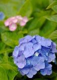 blå vanlig hortensiapink Royaltyfri Bild