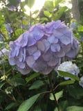 blå vanlig hortensiapurple royaltyfri fotografi