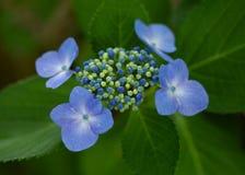 Blå vanlig hortensiaståndare Fotografering för Bildbyråer