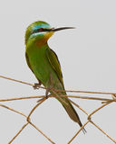 Blå-varad fräck mot Bee-eater Royaltyfria Foton