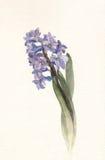 blå vattenfärg för blommahyacintmålning Royaltyfri Foto