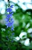 blå vildblomma Fotografering för Bildbyråer