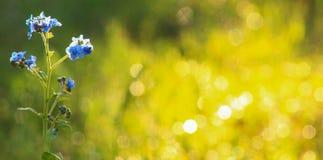 Blå Vildblomma-guld- suddighet Royaltyfria Bilder