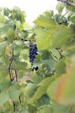 Blå vinranka för organiska klungadruvor Arkivbilder