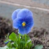 blå violet Royaltyfria Bilder