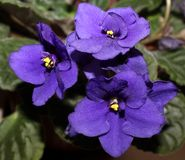 blå violet Arkivfoton
