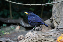 Blå Vissla-trast fågel Royaltyfri Bild