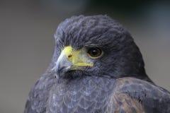 Blå vråk Eagle för chilenare arkivbilder