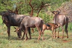 blå wildebeest Arkivfoto
