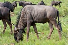 blå wildebeest Fotografering för Bildbyråer