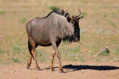 blå wildebeest royaltyfri foto