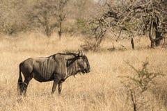 blå wildebeest Arkivbild