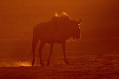 blå wildebeest royaltyfri fotografi