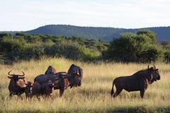 blå wildebeest Arkivfoton