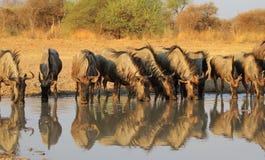 Blå Wildebeest - uppställd afrikansk antilop Arkivbilder