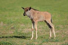 Blå wildebeestkalv royaltyfria foton