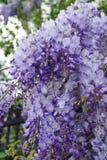 Blå wisteria Royaltyfri Foto