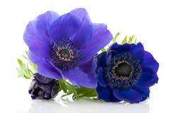 blåa anemoner arkivbilder