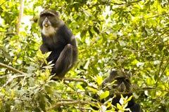 Blåa apor som äter på treen Arkivfoton