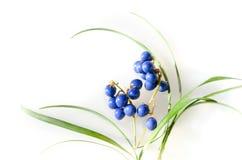 Blåa bär av mondogräs Arkivbild