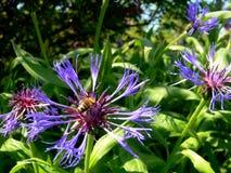 Blåa blåklinter och gräsplansidor och ett bi fotografering för bildbyråer